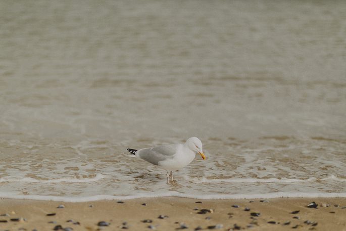 Seagull at Llandudno Beach